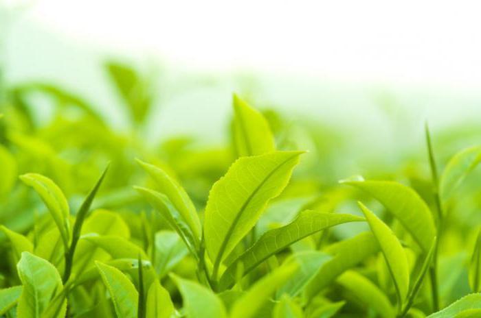 можно ли похудеть если пить листья сенны