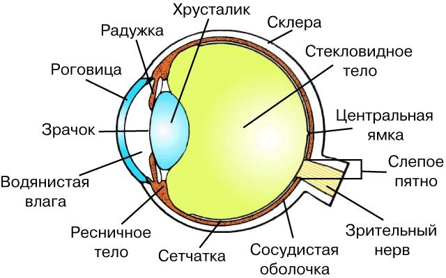 Фото строения глаза