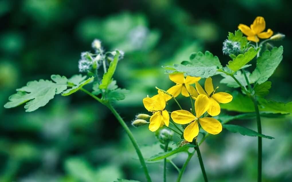 Чистотел — лечение настойкой чистотела, полезные свойства и применение чистотела (трава)