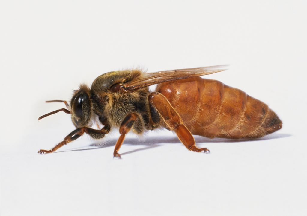 как вывести матку пчелы