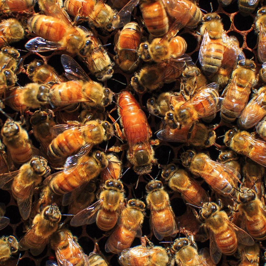 как выводить маток пчел
