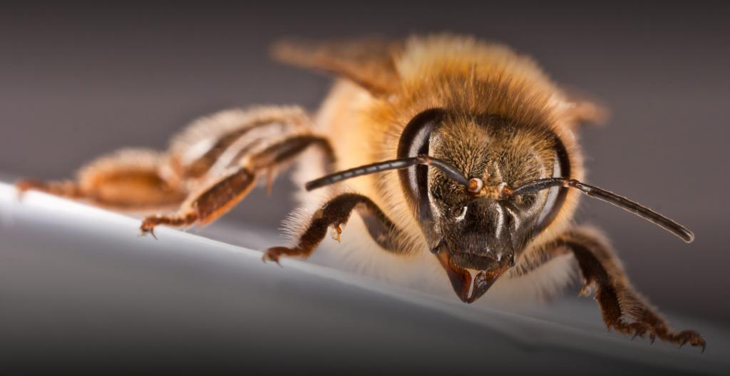 Как вывести матку пчел: способы и условия