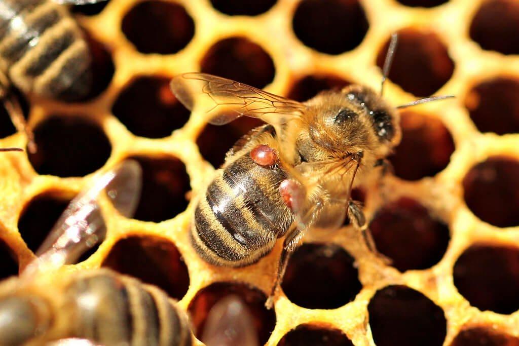 Отводки пчел на маточник